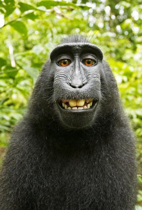 čierny makak