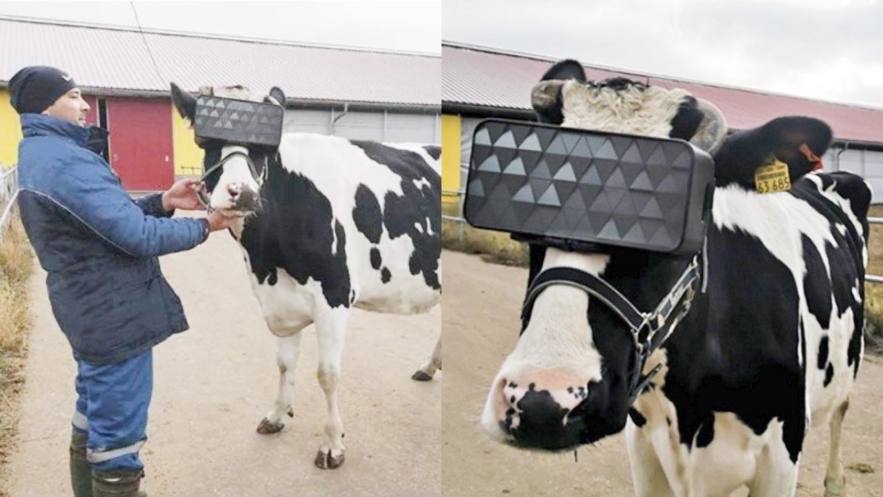 ruska krava vr 2